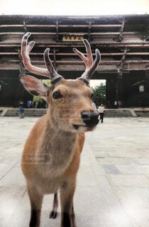 東大寺の鹿のアップの写真・画像素材[1583555]