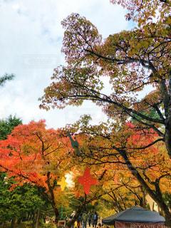 大きな木の写真・画像素材[1594928]