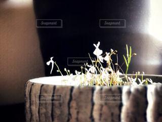 うさぎの形の花が咲く食虫植物のウサギゴケの写真・画像素材[1595538]