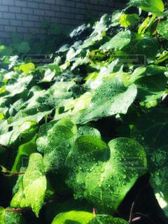 雨上がりに葉っぱについた水滴の写真・画像素材[1606808]