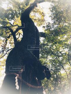 三嶋大社の御神木の写真・画像素材[1611029]
