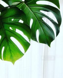 光に向かって葉を広げる観葉植物のモンステラの写真・画像素材[1820614]