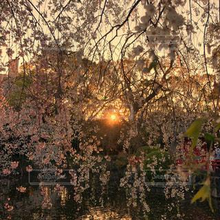 三嶋大社の夕暮れ時の桜の写真・画像素材[1932817]