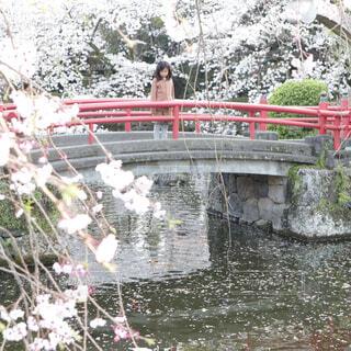 三嶋大社の橋の上から池の桜の花びらを見つめる女の子の写真・画像素材[1932820]