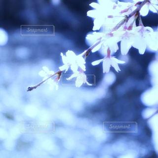 キラキラしている桜の花の写真・画像素材[2000692]