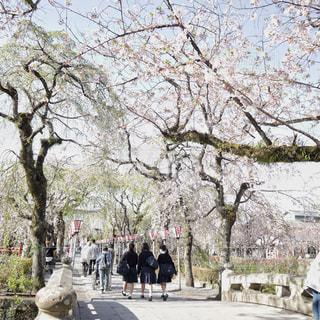 桜の道を歩く女子高生達の写真・画像素材[2001373]
