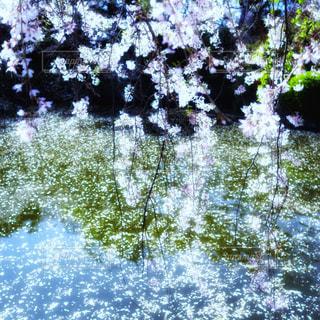キラキラと輝く水面に映る桜の花の写真・画像素材[2001374]