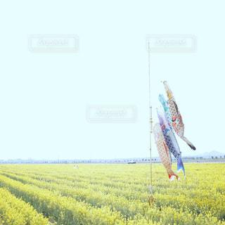 菜の花畑で風にそよぐ鯉のぼりの写真・画像素材[2002039]