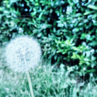 森の中のたんぽぽの綿毛の写真・画像素材[2079405]