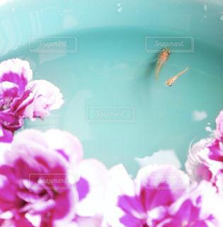 花とメダカ2匹のクローズアップの写真・画像素材[2119618]
