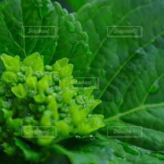 緑の紫陽花のクローズアップの写真・画像素材[2119620]