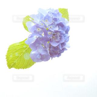 紫陽花の花のクローズアップの写真・画像素材[2184587]