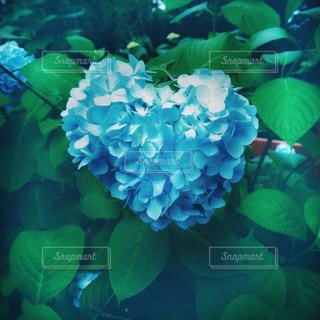 ハートの形をした青い紫陽花の写真・画像素材[2198055]