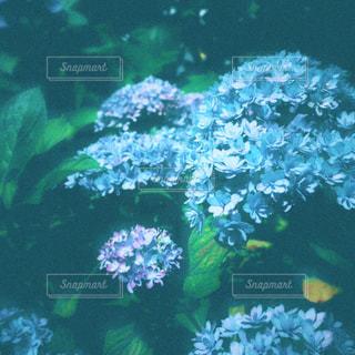 青い紫陽花の花の写真・画像素材[2198203]