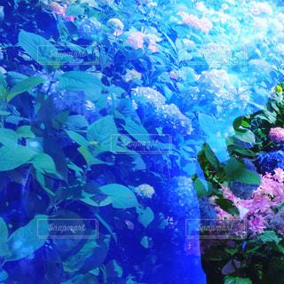 紫陽花と水槽を眺める女の子を重ねるの写真・画像素材[2240313]