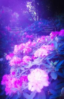 妖しいピンクの光に包まれた花たちの写真・画像素材[2245149]