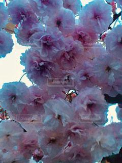 八重桜の写真・画像素材[1503368]