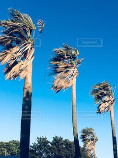 強風に煽られるヤシの木の写真・画像素材[1503665]