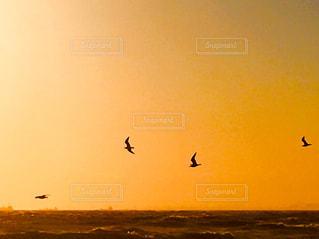 夕焼け空を飛ぶカモメたちの写真・画像素材[1503669]