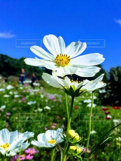 白いコスモスの写真・画像素材[1604760]