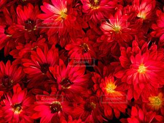 赤い小菊の写真・画像素材[1614848]