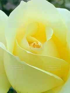 黄色いバラの写真・画像素材[1657773]