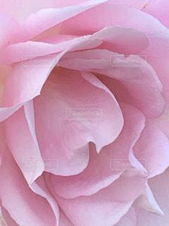 ピンク色のバラの写真・画像素材[1657774]