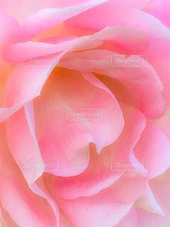 ピンクのバラの写真・画像素材[1658756]
