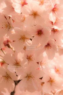 桜の写真・画像素材[1678081]