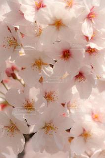 桜の写真・画像素材[1678083]