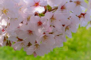 桜の写真・画像素材[1678152]
