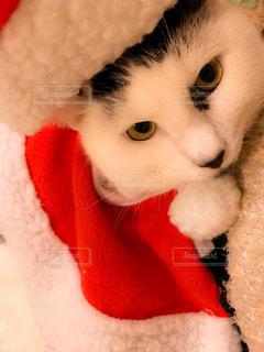 猫のサンタクロースの写真・画像素材[1686087]
