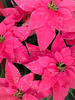 ピンクのポインセチアの写真・画像素材[1691227]