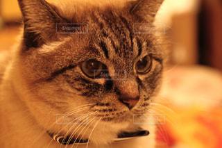 シャムトラ猫の写真・画像素材[1748818]