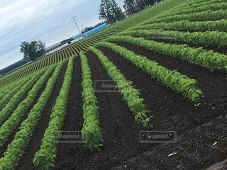 緑の畑の写真・画像素材[1485991]