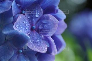 濡れたアジサイの写真・画像素材[979788]