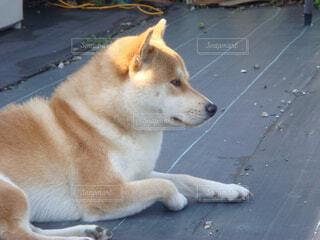 遠くを見つめる柴犬の写真・画像素材[1520175]