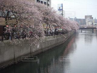桜祭りの写真・画像素材[1520720]
