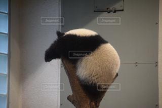 パンダの写真・画像素材[1554408]