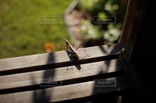 木製のベンチの上から下を覗いているカマキリの写真・画像素材[1487639]