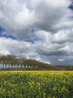 菜の花畑と街路樹と青空の中の雲いっぱいの写真・画像素材[1504107]