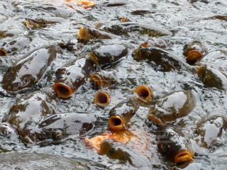 鯉の大群への餌やりの写真・画像素材[1511009]