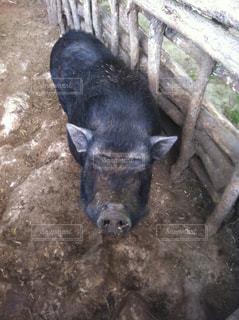 イタリア🇮🇹シエナ産の黒豚の写真・画像素材[1514438]