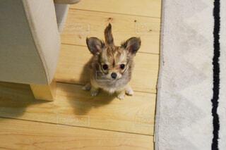 床に座って、小さな茶色と白犬の写真・画像素材[1486863]