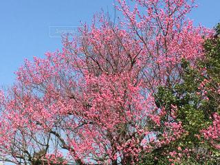 梅の木の写真・画像素材[1563820]