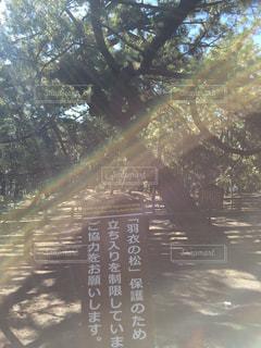 羽衣の松の写真・画像素材[1574329]