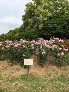 庄内緑地公園のブルームーン(バラ)の写真・画像素材[1596669]