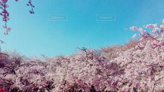 庄内緑地公園の満開の八重桜の写真・画像素材[1596672]