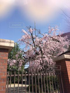 小学校の桜の写真・画像素材[1612912]