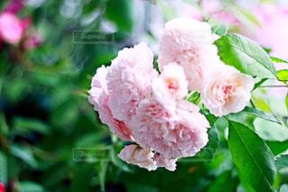 近くの花のアップの写真・画像素材[1508541]